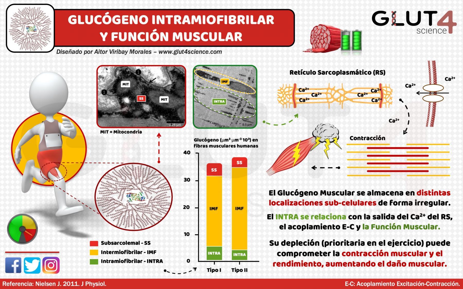 Glucógeno Intramiofibrilar y Contracción Muscular