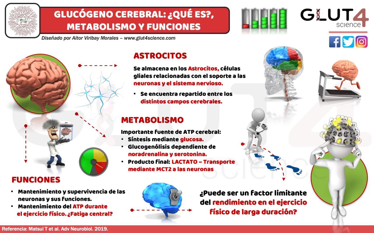 Glucógeno cerebral en astrocitos y sus funciones
