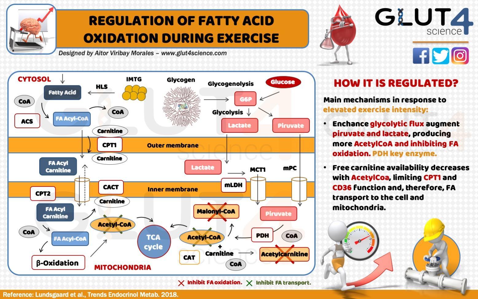 Regulation of Fatty Acid Oxidation During Exercise