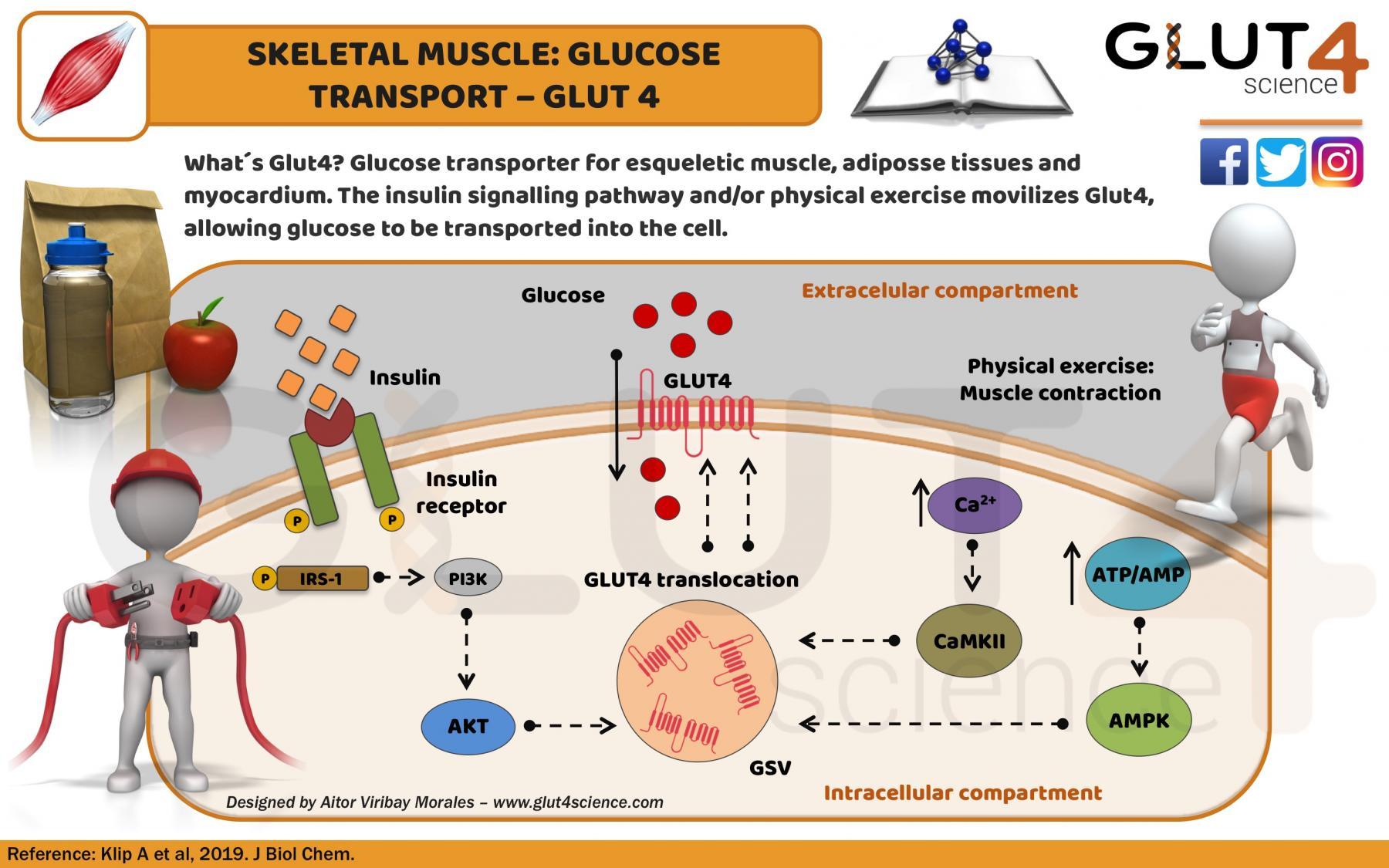 Glucose Transporter GLUT4