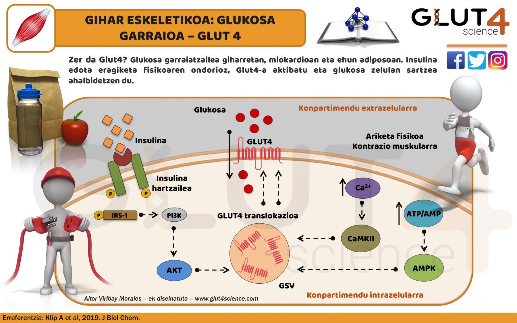 Glukosa garraiatzailea GLUT4
