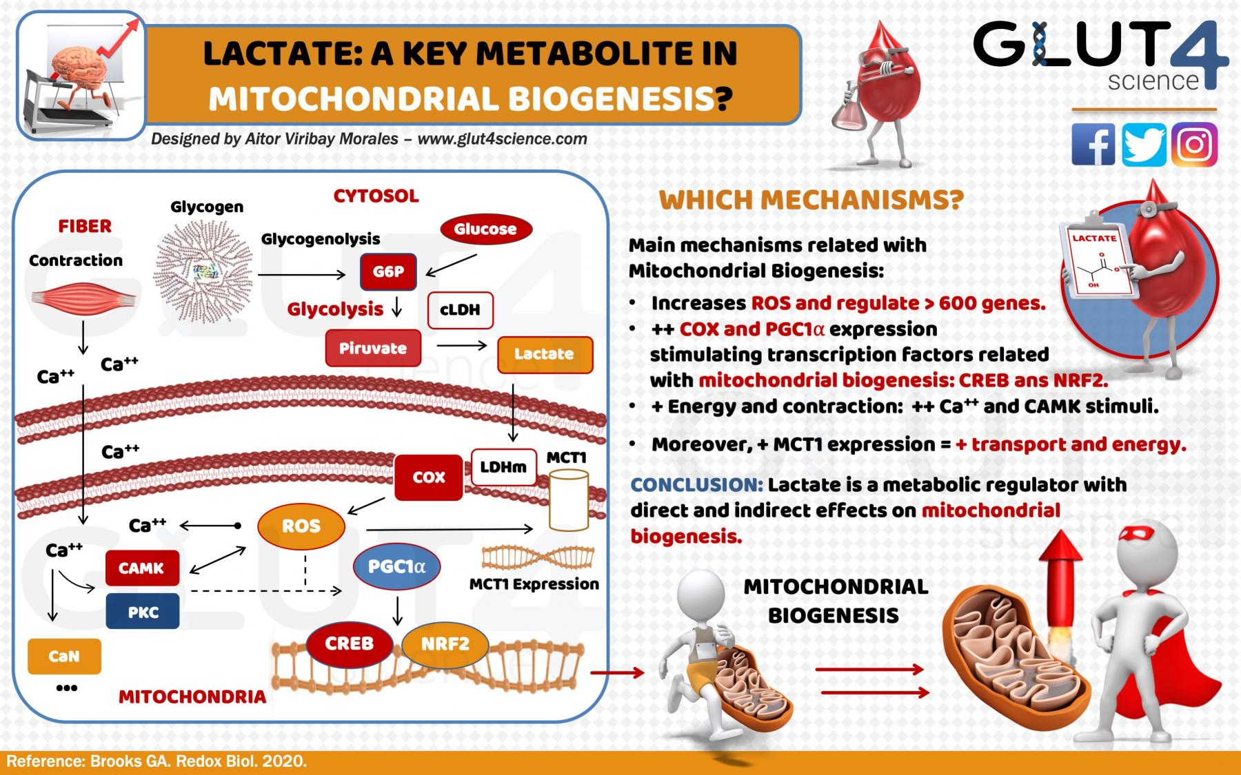 Lactate and Mitochondrial Biogenesis: A key metabolite?