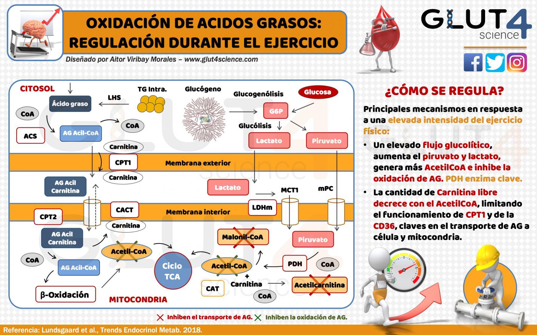 Regulación de la Oxidación de los Acidos Grasos Durante el Ejercicio