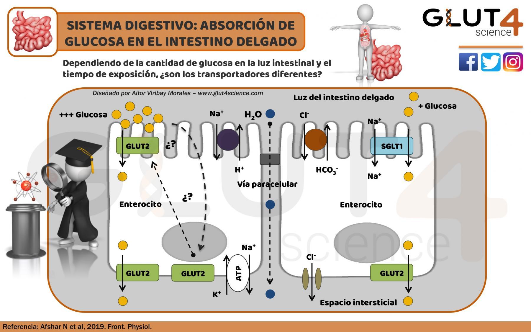 Absorción de glucosa en el intestino: Glut2