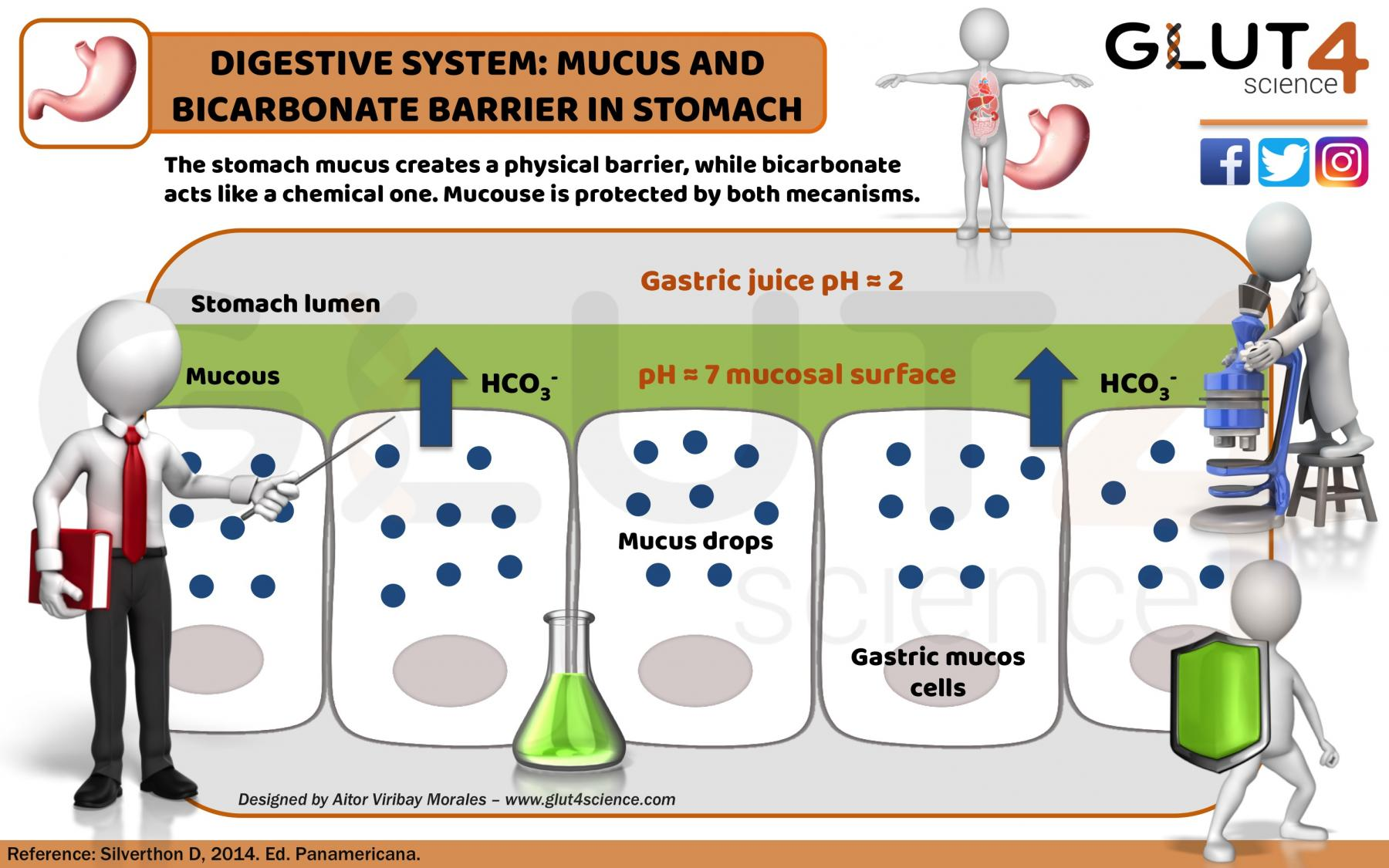 Mucose-bicarbonate barrier in the stomach